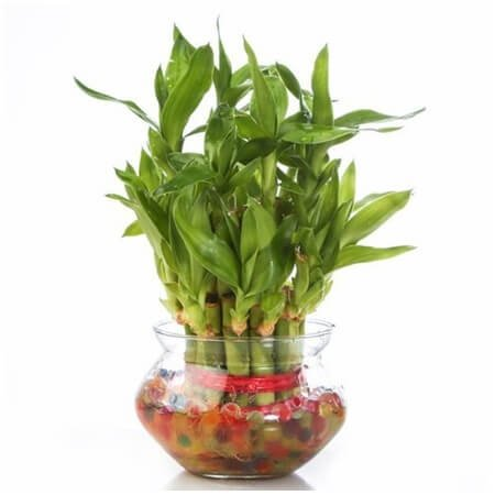 BamBoo Love Plant